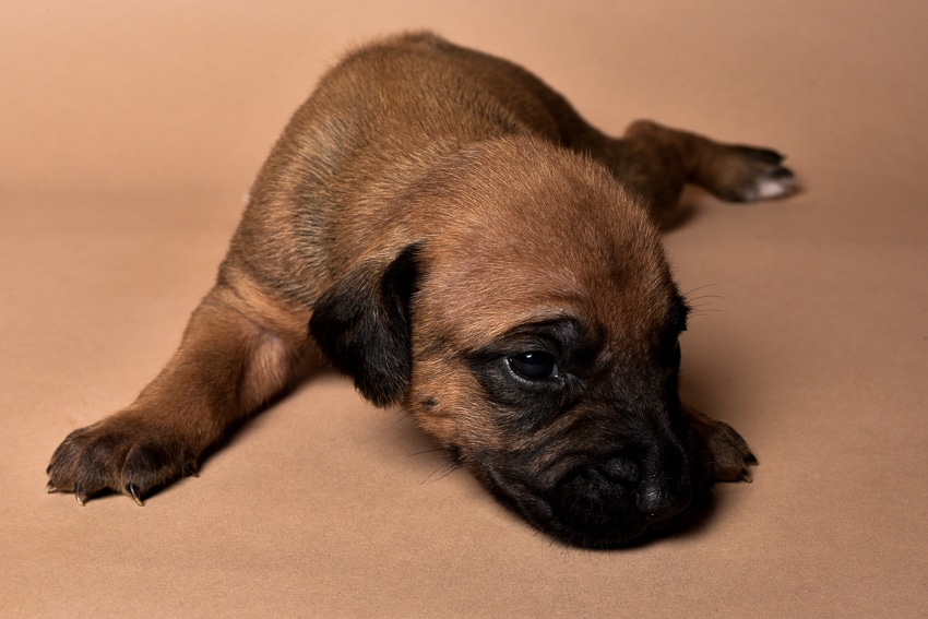 Rhodesian male puppies for sale in Texas-6