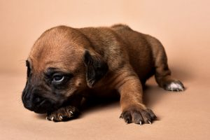 Rhodesian male puppies for sale in Texas-9