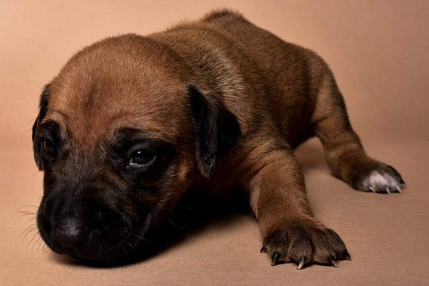Rhodesian male puppies for sale in Texas