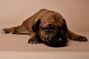 Rhodesian ridgeback female puppies for sale--10