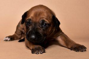Rhodesian ridgeback female puppies for sale--11
