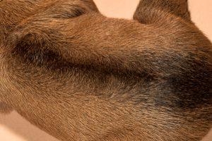 Rhodesian ridgeback female puppies for sale--12