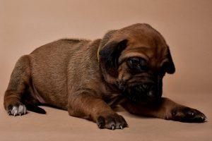 Rhodesian ridgeback female puppies for sale--2