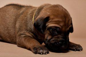 Rhodesian ridgeback female puppies for sale--3