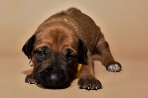 Rhodesian ridgeback female puppies for sale--5
