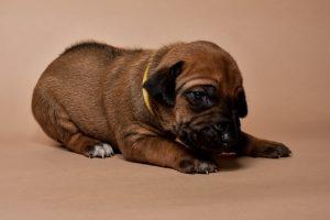 Rhodesian ridgeback female puppies for sale--6