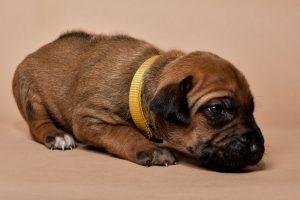 Rhodesian ridgeback female puppies for sale--7