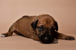 Rhodesian ridgeback female puppies for sale--9