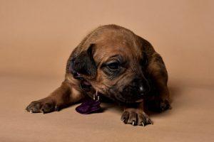 Rhodesian ridgeback female puppy for sale-