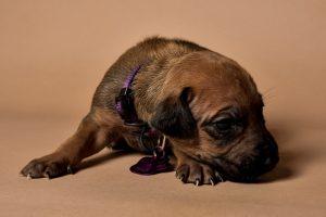 Rhodesian ridgeback female puppy for sale--2