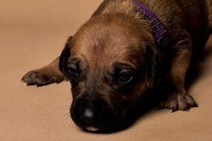Rhodesian ridgeback female puppy for sale--4