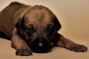 Rhodesian ridgeback female puppy for sale--5