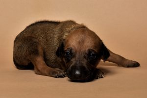Rhodesian ridgeback female puppy for sale--6