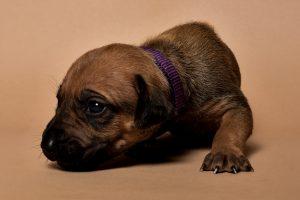 Rhodesian ridgeback female puppy for sale--7