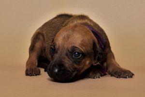 Rhodesian ridgeback female puppy for sale--8