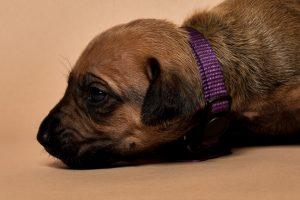 Rhodesian ridgeback female puppy for sale--9
