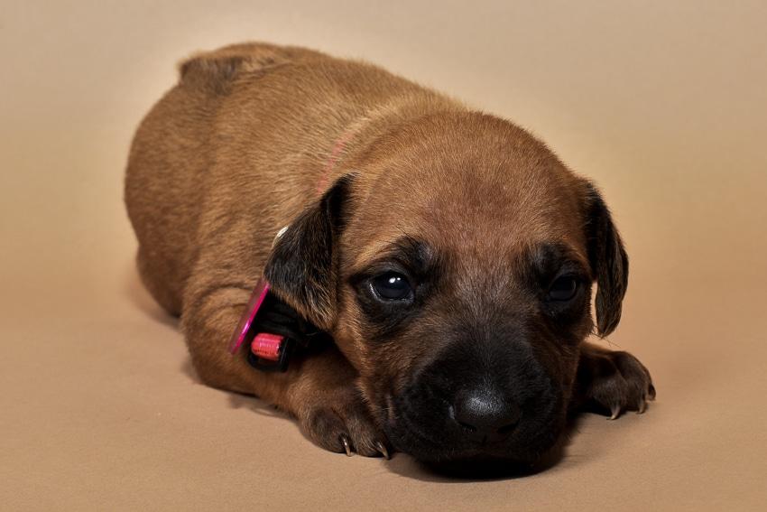 Rhodesian ridgeback girl puppy for sale-