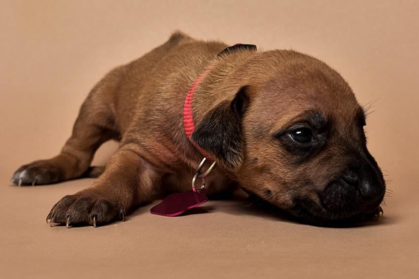 Rhodesian ridgeback girl puppy for sale--10