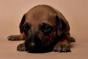 Rhodesian ridgeback girl puppy for sale--11