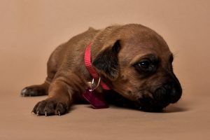 Rhodesian ridgeback girl puppy for sale--12