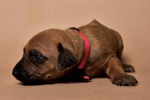 Rhodesian ridgeback girl puppy for sale--13