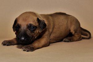 Rhodesian ridgeback girl puppy for sale--4