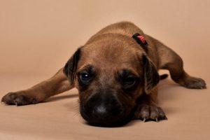 Rhodesian ridgeback girl puppy for sale--5