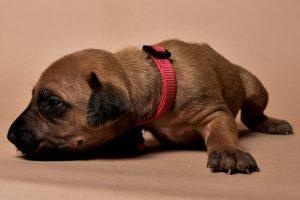Rhodesian ridgeback girl puppy for sale--6