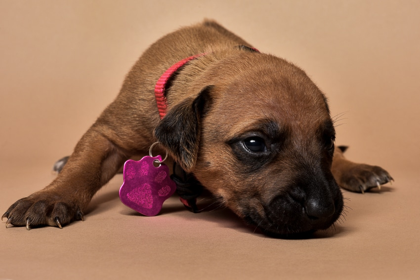 Rhodesian ridgeback girl puppy for sale--7