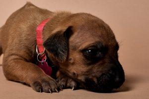 Rhodesian ridgeback girl puppy for sale--8