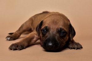 Rhodesian ridgeback girl puppy for sale--9