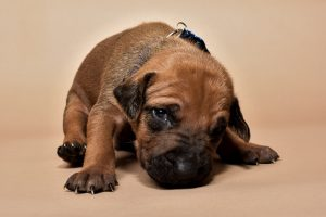 Rhodesian ridgeback male puppies for sale-