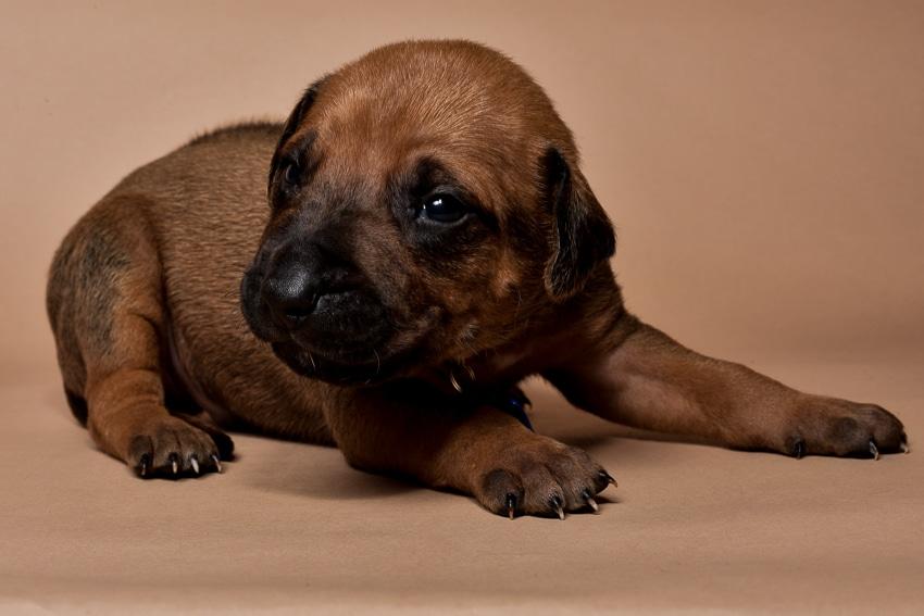 Rhodesian ridgeback male puppies for sale--10