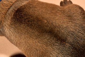 Rhodesian ridgeback male puppies for sale--12
