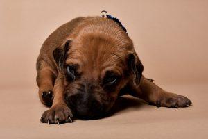 Rhodesian ridgeback male puppies for sale--2