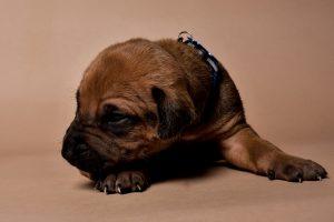 Rhodesian ridgeback male puppies for sale--3
