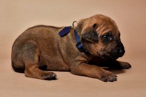 Rhodesian ridgeback male puppies for sale--5