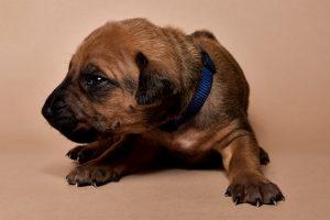 Rhodesian ridgeback male puppies for sale--6
