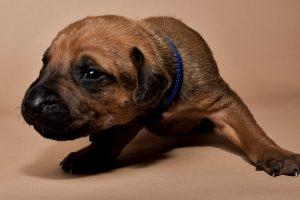 Rhodesian ridgeback male puppies for sale--7