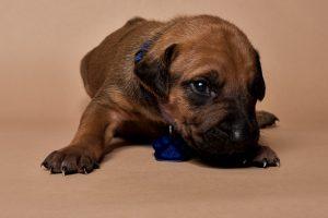 Rhodesian ridgeback male puppies for sale--8