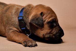 Rhodesian ridgeback male puppies for sale--9
