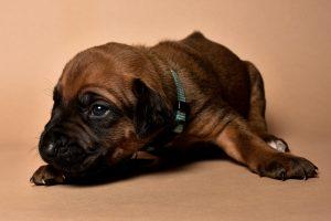 Rhodesian ridgeback male puppies for sale in austin texas--3