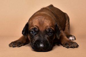 Rhodesian ridgeback male puppies for sale in austin texas--5