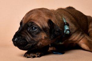 Rhodesian ridgeback male puppies for sale in austin texas--6