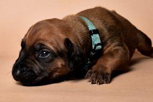 Rhodesian ridgeback male puppies for sale in austin texas--7