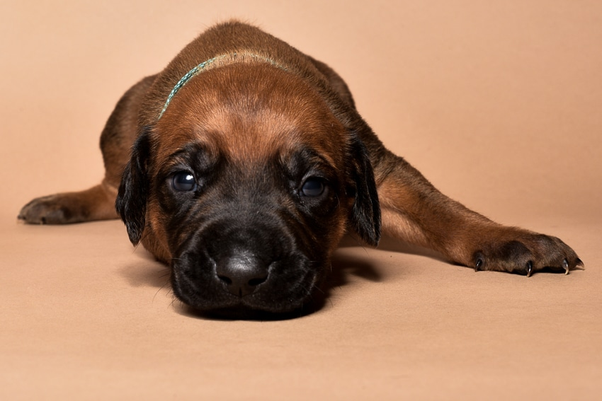 Rhodesian ridgeback male puppies for sale in austin texas--8