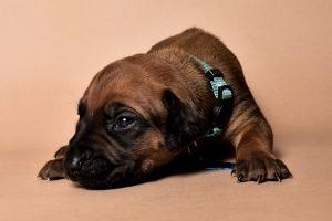 Rhodesian ridgeback male puppies for sale in austin texas--9