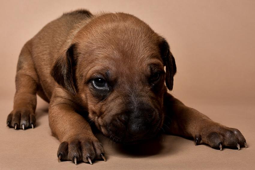 Rhodesian ridgeback male puppy for sale--2