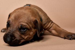 Rhodesian ridgeback male puppy for sale--4