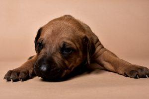 Rhodesian ridgeback male puppy for sale--5